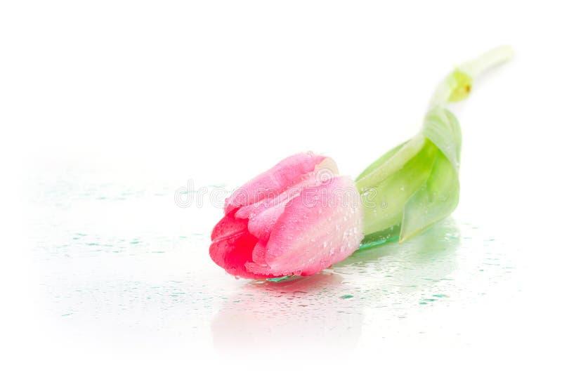 Uma tulipa com gotas do orvalho fotografia de stock