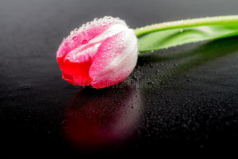 Uma tulipa com gotas do orvalho fotos de stock