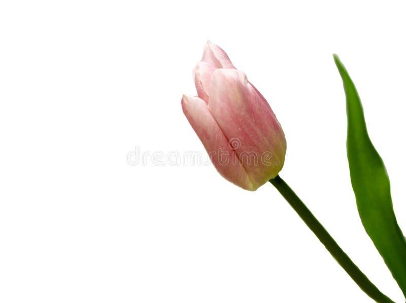 Uma tulipa cor-de-rosa ? isolada em um fundo branco Ascendente pr?ximo da tulipa fotografia de stock royalty free