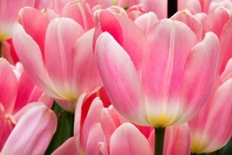 Uma tulipa cor-de-rosa com um fundo das tulipas imagem de stock royalty free