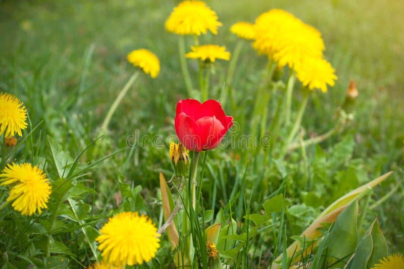 Uma tulipa vermelha entre um campo de dentes-de-leão amarelos na mola fotos de stock royalty free
