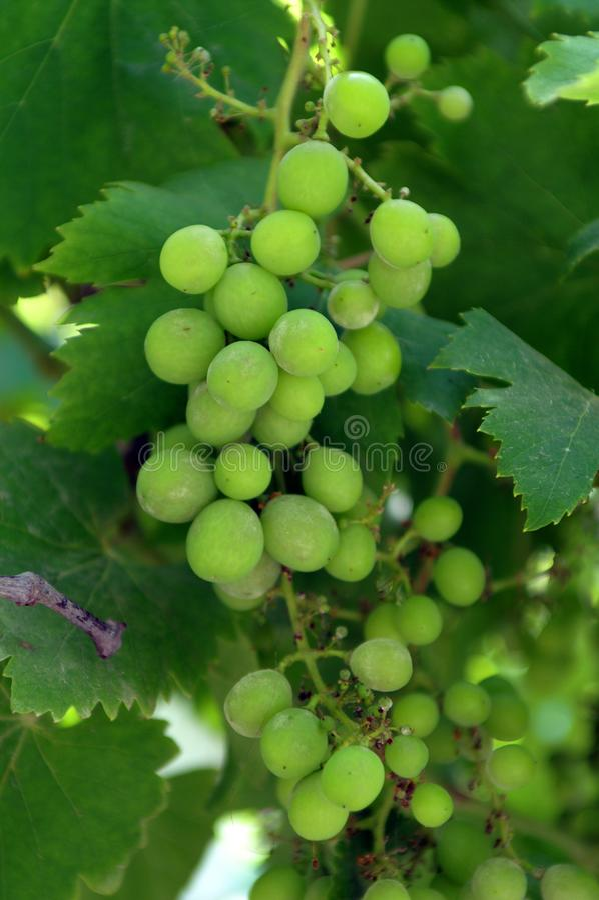 Uma uva é um fruto, botanicamente uma baga, das videiras arborizados decíduos do gênero de planta de florescência foto de stock royalty free