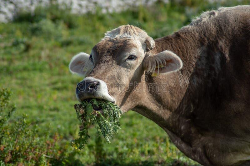 Uma vaca ao pastar foto de stock