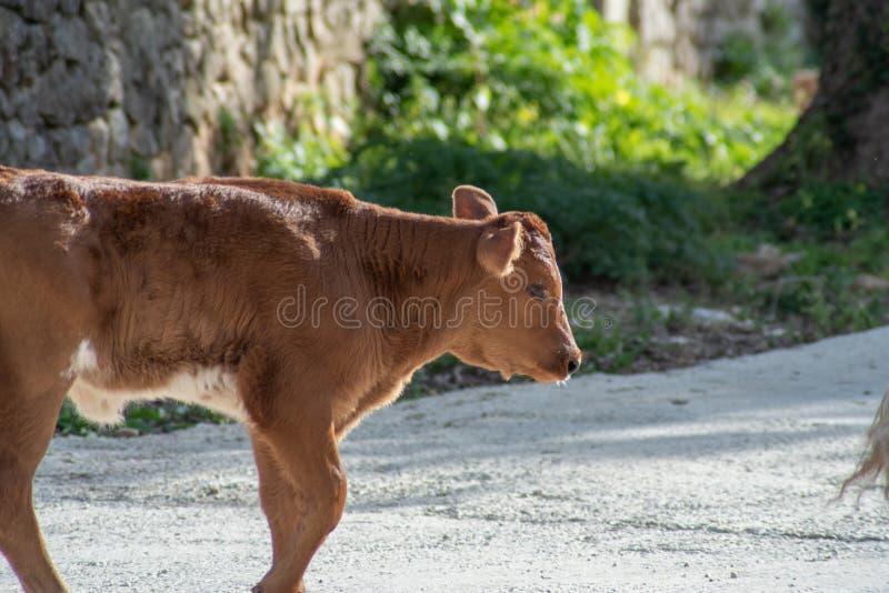 Uma vaca ao pastar imagens de stock royalty free