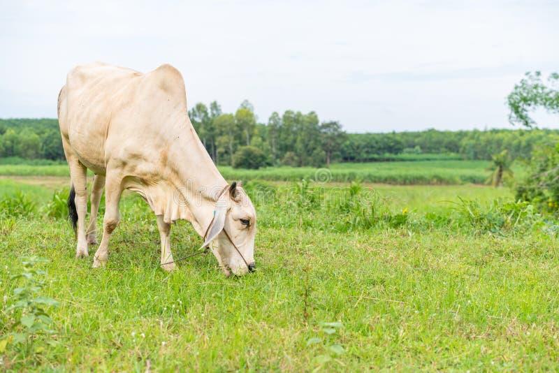 Uma vaca branca do brahman que come a grama no campo imagem de stock royalty free