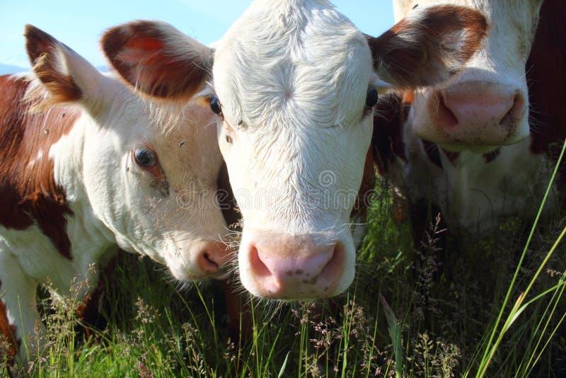 Uma vaca de leiteria e sua vitela foto de stock royalty free