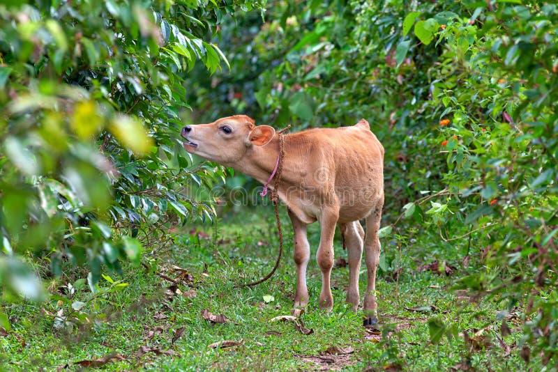 Uma vaca do bebê está comendo as folhas de um arbusto da canela imagens de stock royalty free