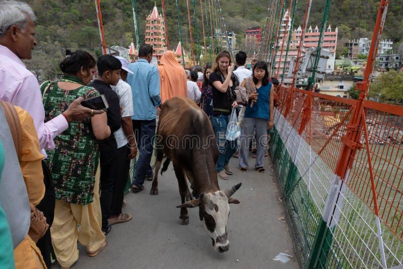 Uma vaca fá-lo lentamente é maneira através de Lakshman Jhula, adicionando ao já fotografia de stock