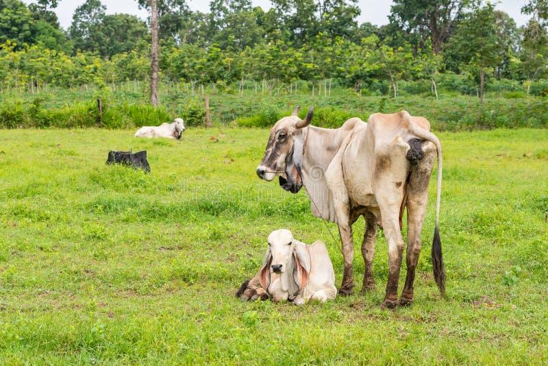 Uma vaca fêmea branca do brahman que está ao lado de sua vitela imagens de stock royalty free