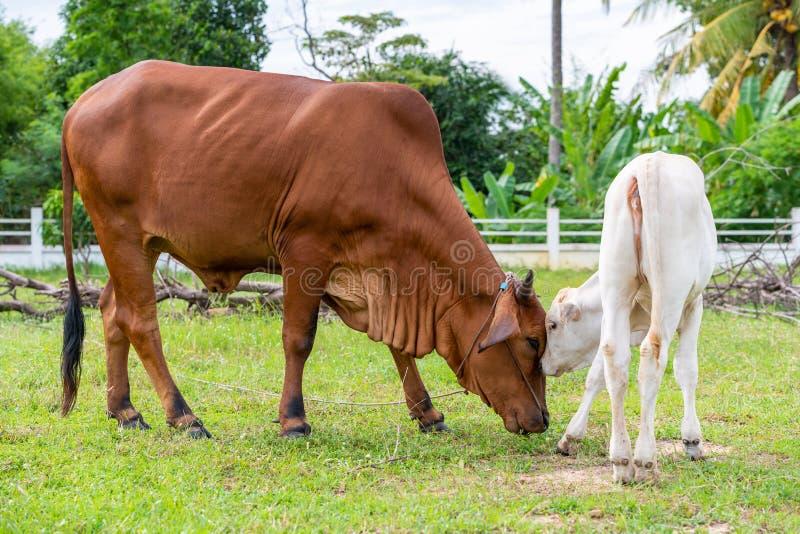 Uma vaca marrom do brahman que joga com sua vitela no campo fotos de stock