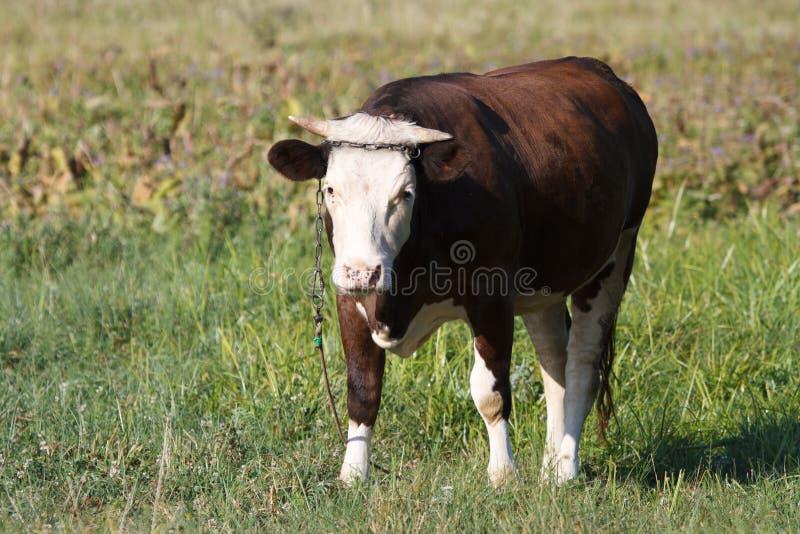 Uma vaca marrom pequena da vitela amarrada imagem de stock royalty free