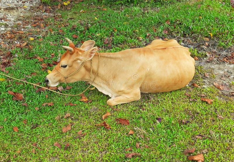Uma vaca marrom que senta-se e que descansa no prado imagens de stock