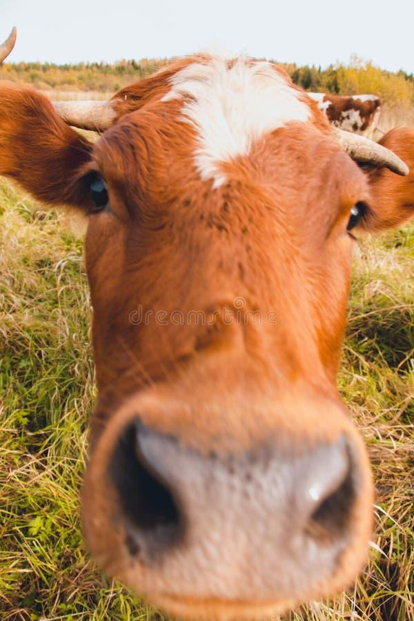 Uma vaca nova muito curiosa As vacas vivem em uma exploração agrícola imagem de stock