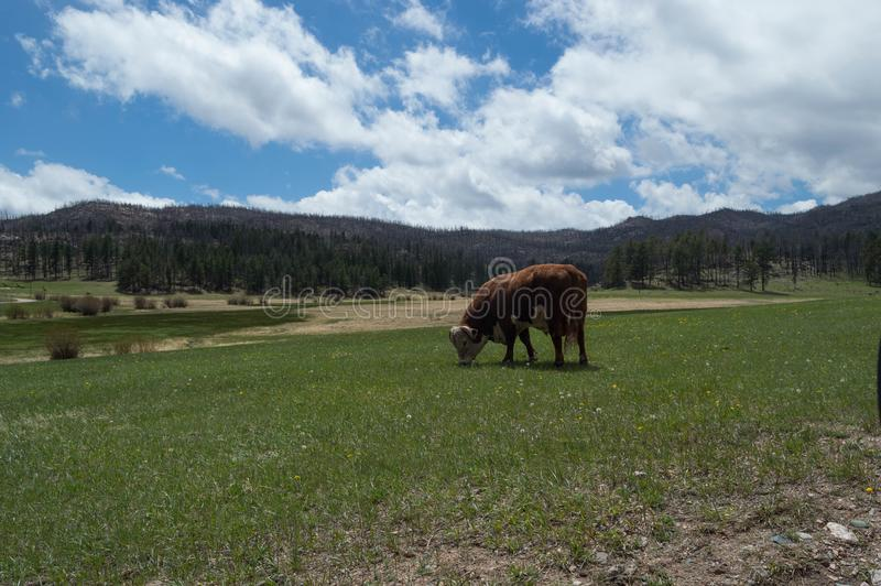 Uma vaca pasta abaixo dos montes cobertos árvore fotografia de stock