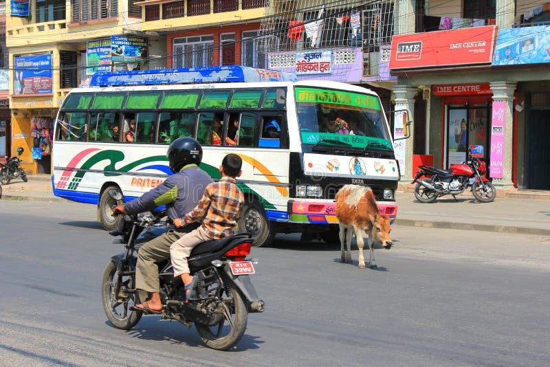 Uma vaca que vagueia a rua livremente na cidade de Pokhara, Nepal imagens de stock royalty free