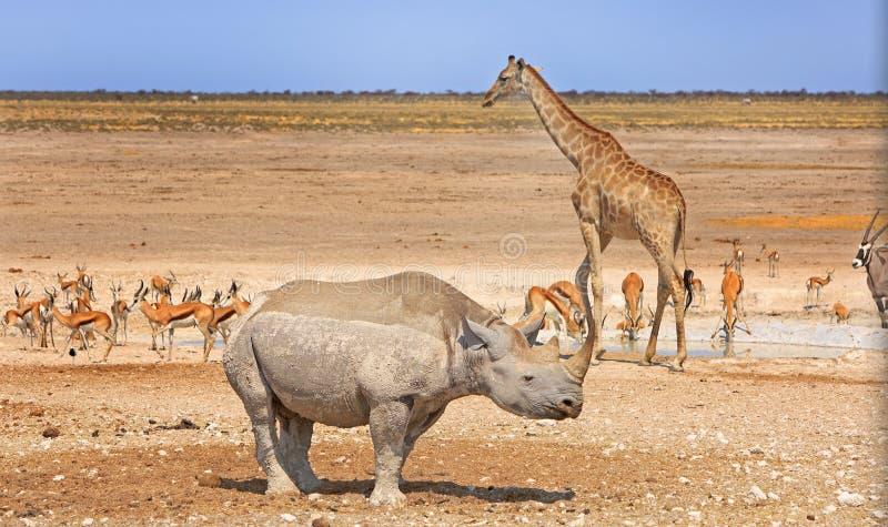 Uma variedade de animais em torno de um waterhole no parque nacional de Etosha imagens de stock royalty free