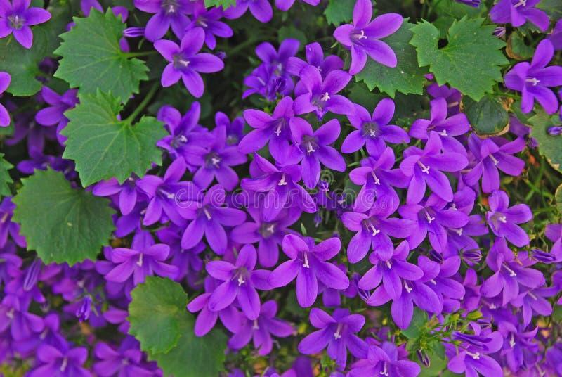 Uma variedade de crescimento de flores violeta roxo do poscharskyana da campânula em abundância imagem de stock