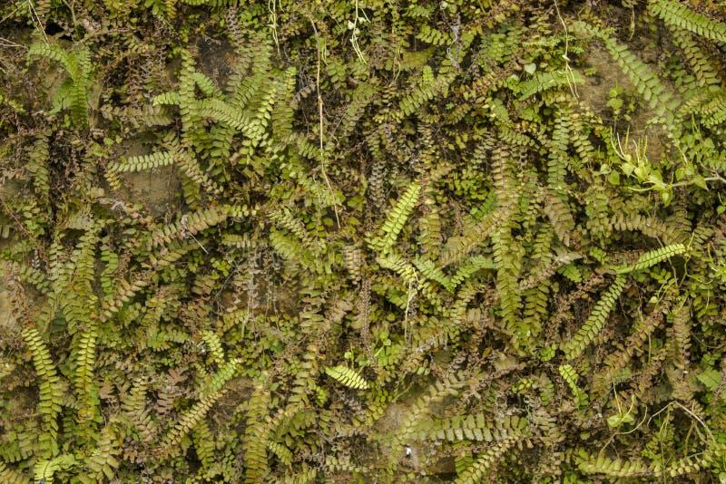 Uma vegetação verde abundante na parede de tijolo verdes secos e frescos na superfície da parede ramos com muitas folhas pequenas imagens de stock