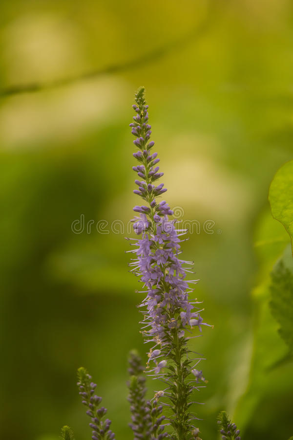 Uma verônica bonita do longleaf que floresce em um prado do verão fotos de stock royalty free