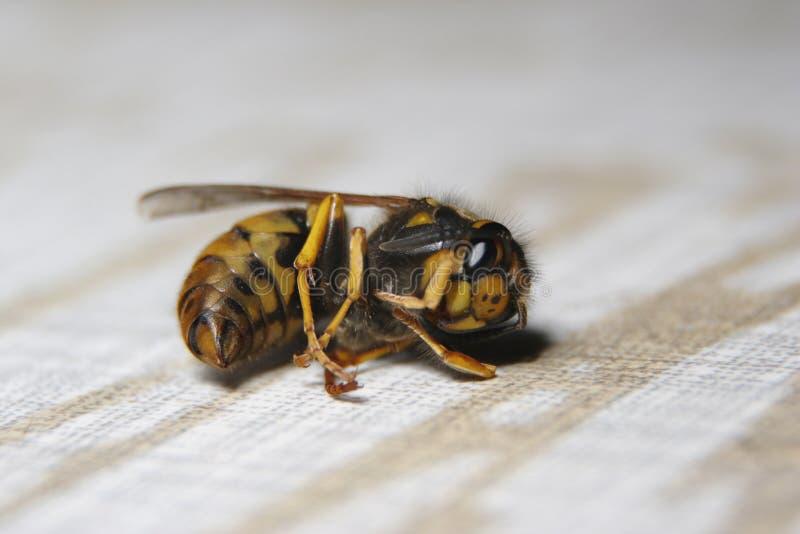 Uma vespa inoperante é colocar de cabeça para baixo na terra imagem de stock