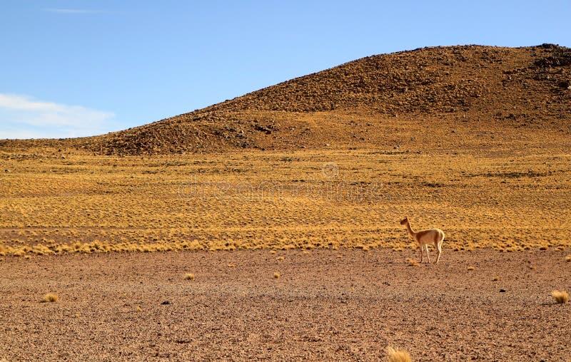 Uma vicunha selvagem nos montes do chileno Andes, deserto de Atacama, o Chile fotos de stock royalty free