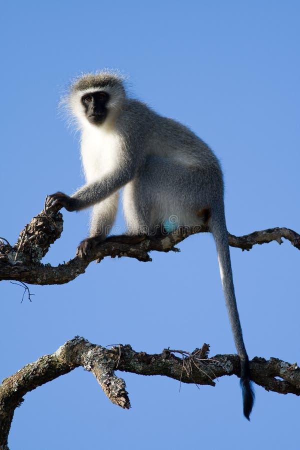 Uma vigia do macaco de Vervet aproximadamente para chamar o alerta fotos de stock royalty free
