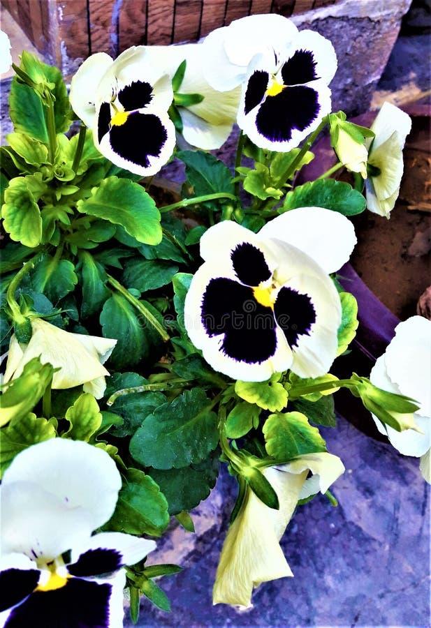 Uma violeta minúscula bonita & uma flor branca da cor com folhas verdes foto de stock royalty free