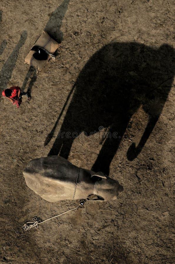 Uma visão real de um elefante com sua grande sombra fotografia de stock royalty free