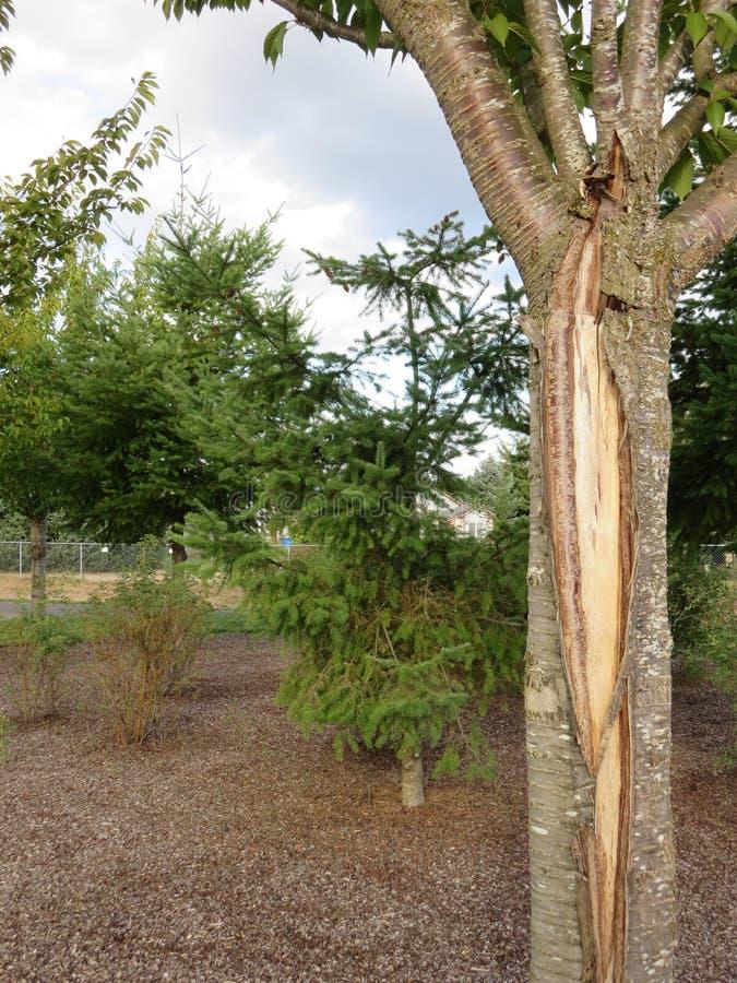 Uma vista bonita atrás de uma árvore de cereja foto de stock