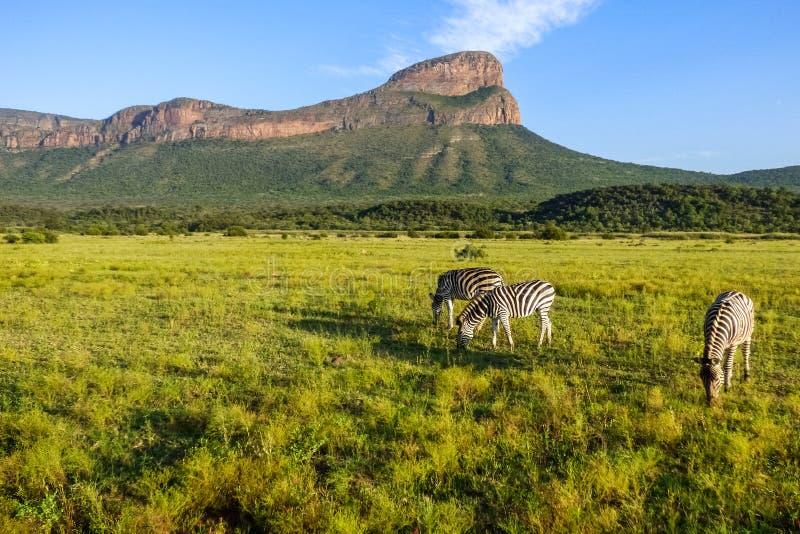 Uma vista bonita em África do Sul com zebras e uma montanha foto de stock royalty free