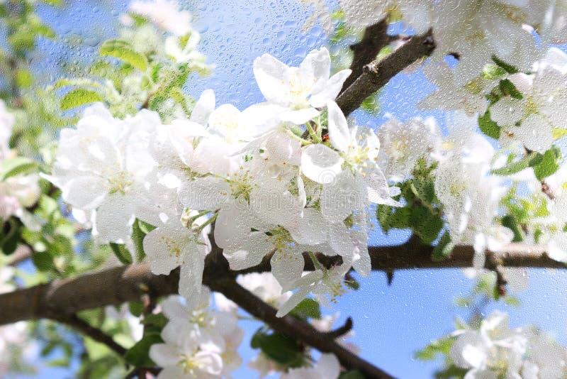 Uma vista de uma árvore de maçã de florescência através de uma janela molhada, tempo chuvoso imagens de stock royalty free