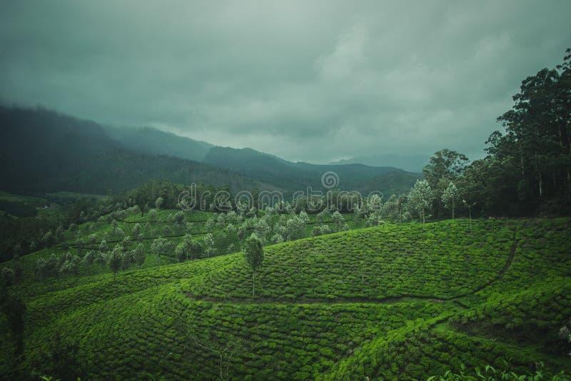 Uma vista de plantações de chá foto de stock