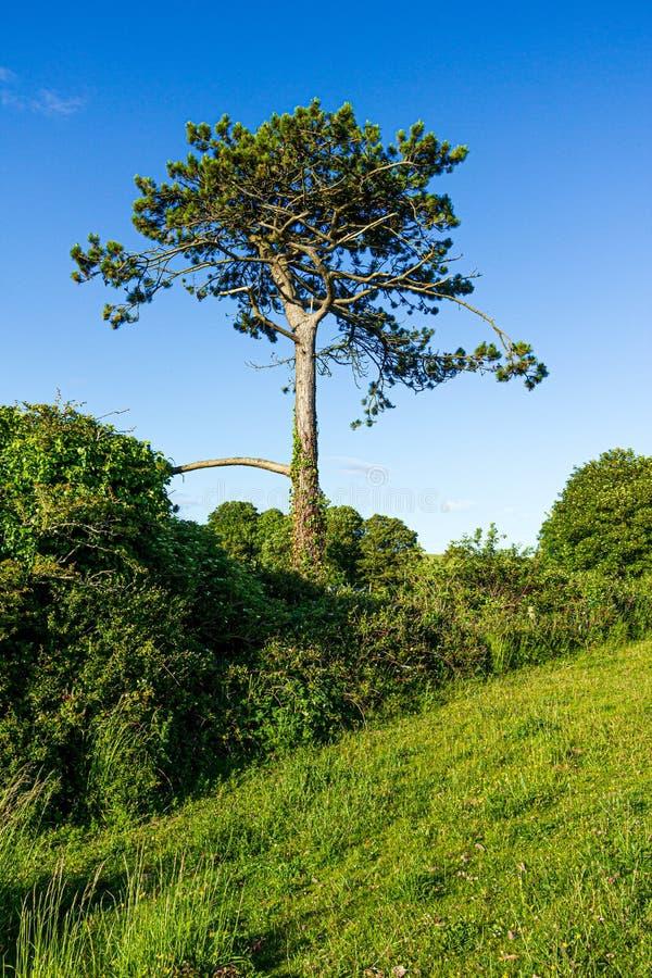 Uma vista de um pinheiro na inclinação de uma inclinação verde gramínea sob um céu azul majestoso imagens de stock