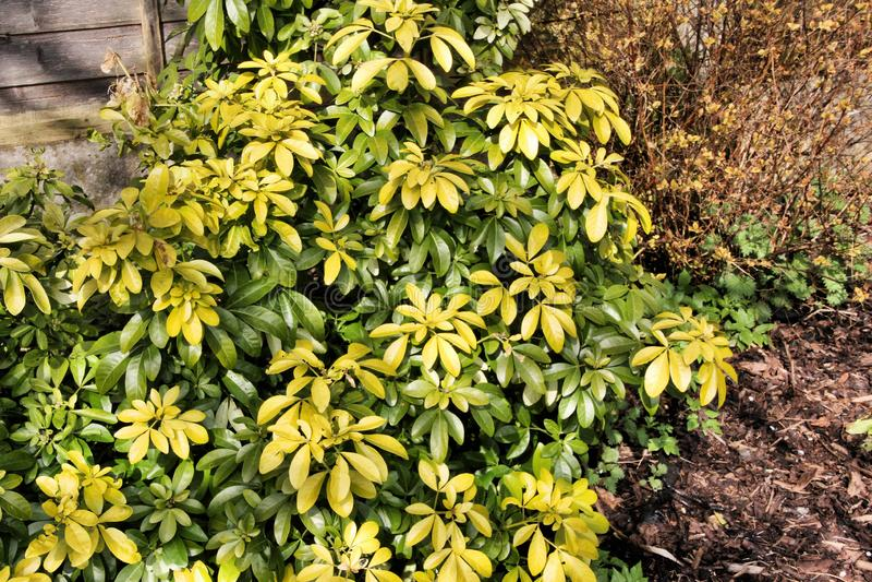 Uma vista de um Shrub Verde no meu jardim imagem de stock royalty free