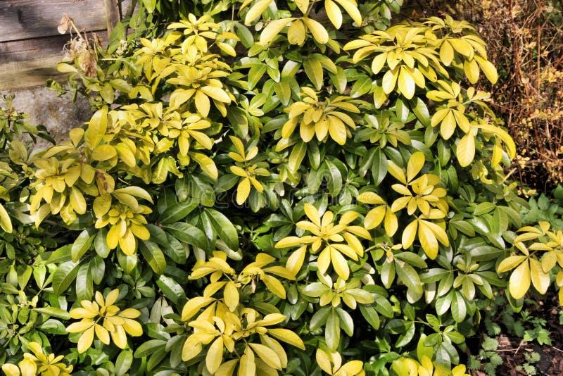 Uma vista de um Shrub Verde no meu jardim imagem de stock