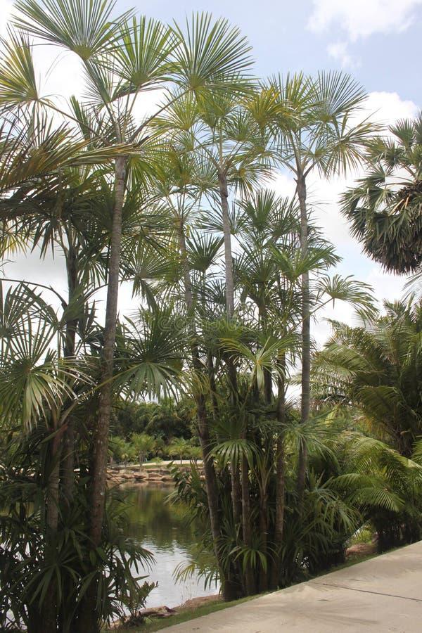 Uma vista a diversas palmas e a uma lagoa atrás delas no jardim botânico tropical de Nong Nooch perto da cidade de Pattaya em Tai imagens de stock royalty free