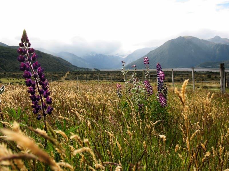 Uma vista dos cumes do sul, com lupines roxos, ilha sul, Nova Zelândia foto de stock royalty free