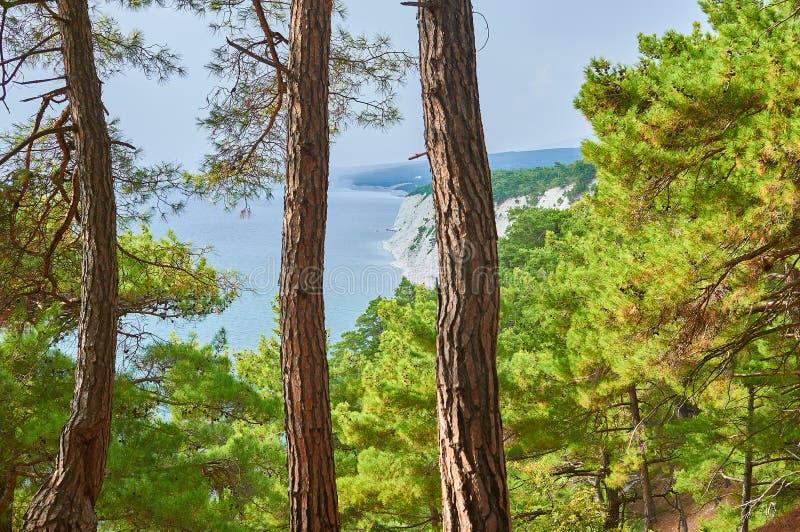 Uma vista excitante da floresta do pinho da relíquia nas extensões o foto de stock royalty free