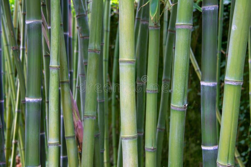 Uma vista a uma floresta de bambu verde foto de stock royalty free