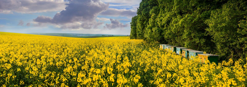 Uma vista panorâmica de um campo amarelo de colmeia da violação e da abelha fotografia de stock royalty free