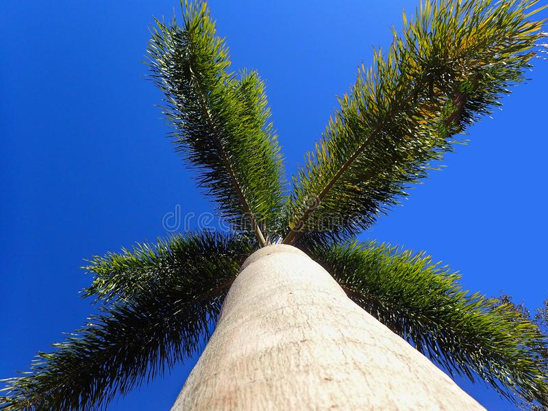 Uma vista que olha acima uma palmeira foto de stock