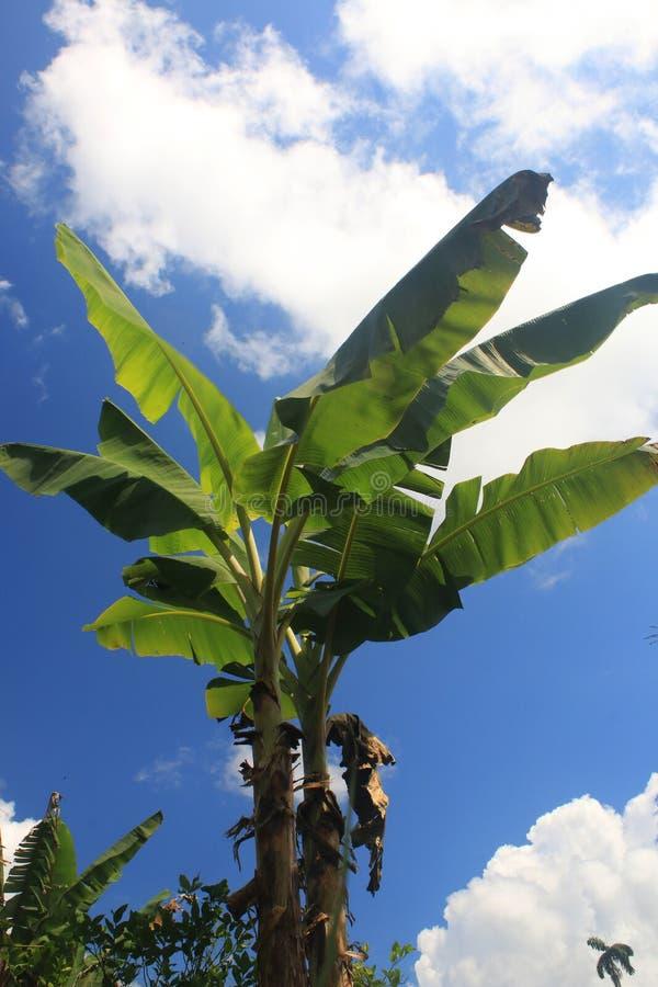 Uma vista tropical de uma árvore de banana sem bananas em um dia ensolarado com um céu brilhante e algumas nuvens foto de stock royalty free