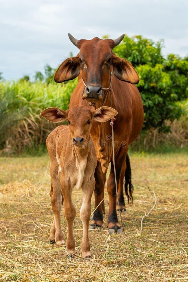 Uma vitela masculina muito nova com uma vaca fêmea fotografia de stock