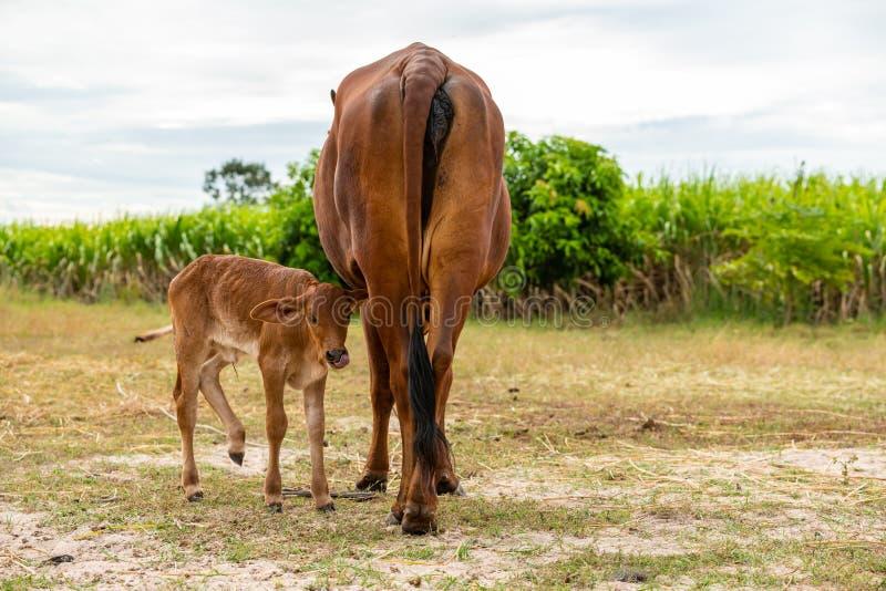 Uma vitela masculina muito nova com uma vaca fêmea fotos de stock royalty free