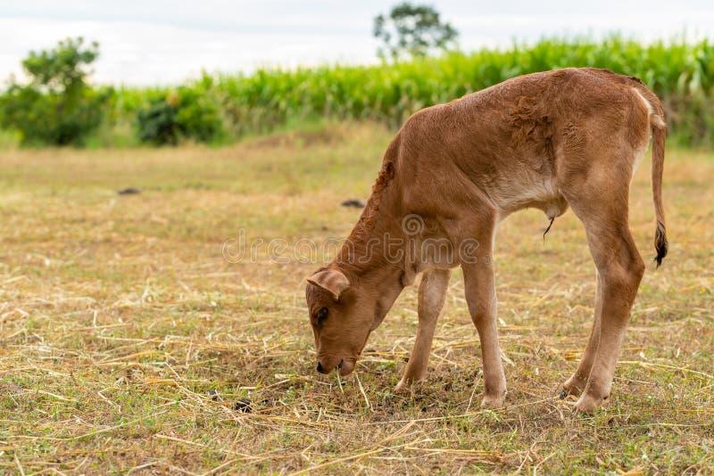 Uma vitela masculina muito nova está mastigando a grama imagens de stock