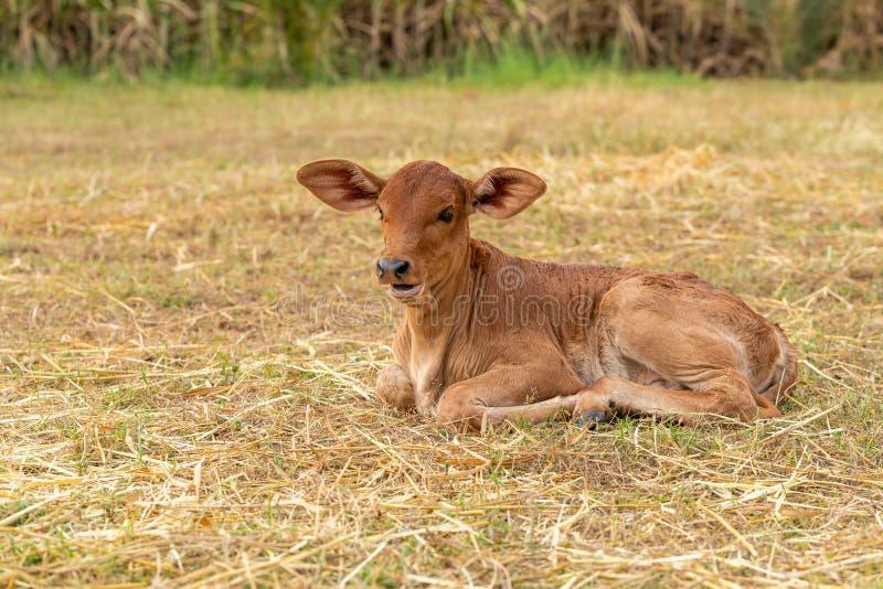 Uma vitela masculina muito nova que senta-se na grama imagem de stock