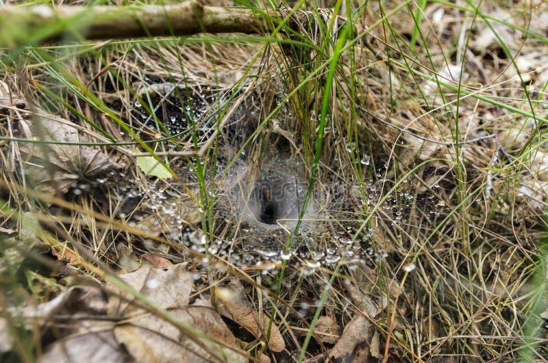 Uma Web na grama A casa da aranha do ` s do caçador O orvalho no Web imagens de stock
