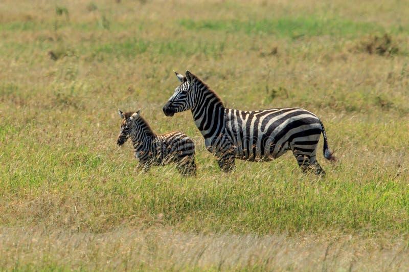 Uma zebra das planícies e seu potro recém-nascido imagens de stock royalty free
