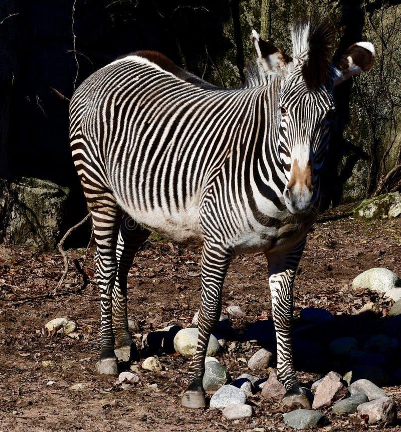 Uma zebra #1 de Grevy's imagem de stock