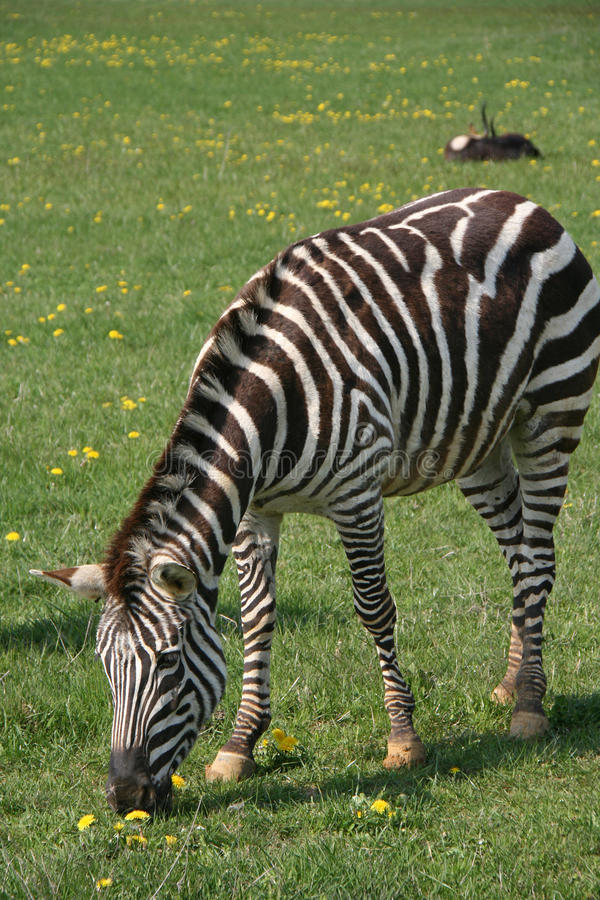 Uma zebra está pastando em um jardim zoológico em França fotografia de stock royalty free